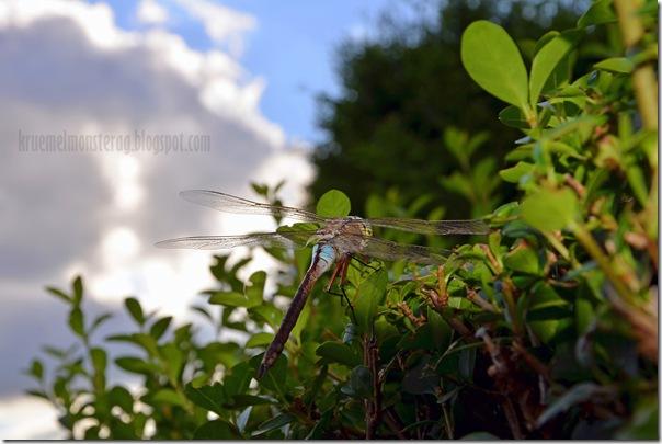 Odonata {Libelle} (6)