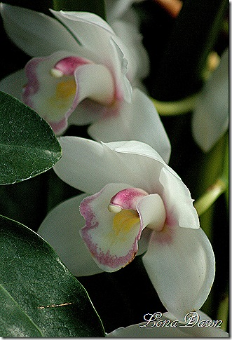 FPC_Orchid_White_Pink