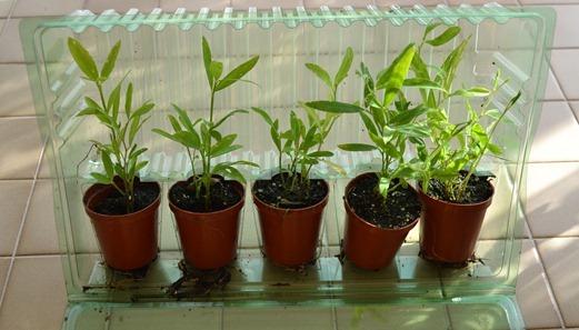 Perennial Everlasting Sweet Peas