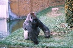2003.08.26-163-07 gorille