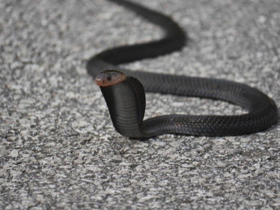 Black Cobra, near Sibu, Sarawak, Malaysia