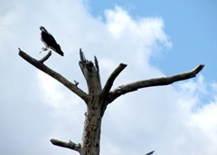 1203422 Mar 28 Osprey In Tree