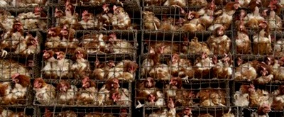 factory-farm-chickens