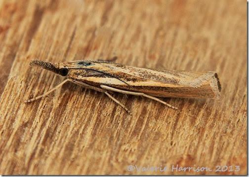 grass-moth