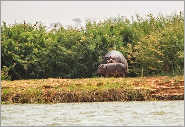 JR Hippos-15