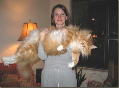 Maine Coon Cats – Bigger Than Dogs « The Pinetar Rag