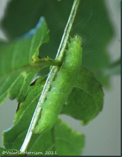 1-coronet caterpillar