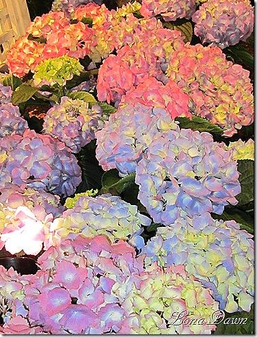Hydrangea_Rainbows