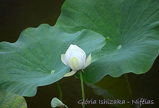 Gloria Ishizaka - ninfeia
