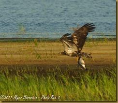 Bald Eagele -imm fly w fish _ROT3113 Bombay Hook  May 10, 2011 NIKON D3S