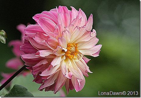 Dahlia_Rembrandt2_Aug