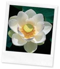 flor_de_lotus_imagelarge