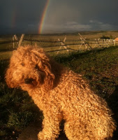 GorgeousDoodles rainbow doodle, Sire Tinley.