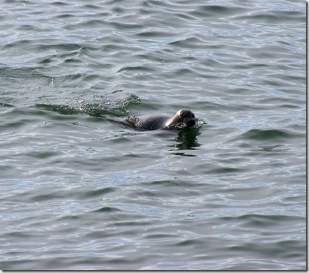Harbor Seal, Chesapeake Bay