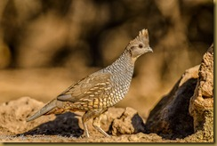 Scaled Quail (Callipepla squamata)