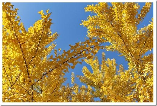 111117_yellow_ginkgo5