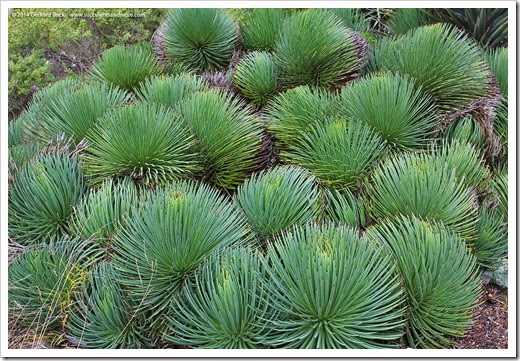 121228_UCBotGarden_Agave-stricta_01