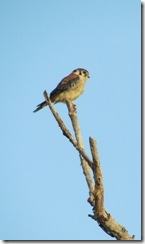 Kestrel at Everglades