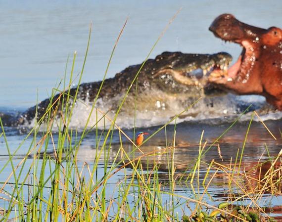 hippo-crocodile-bi_1887703i