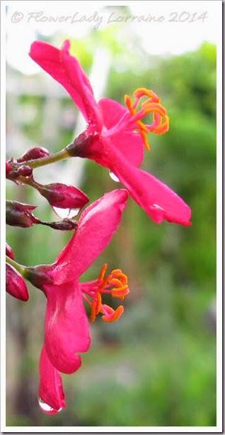 06-14-spicy-jatropha