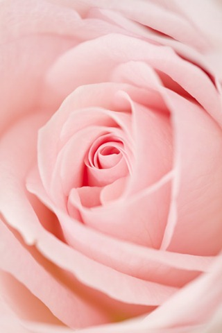 Close up of light pink rose