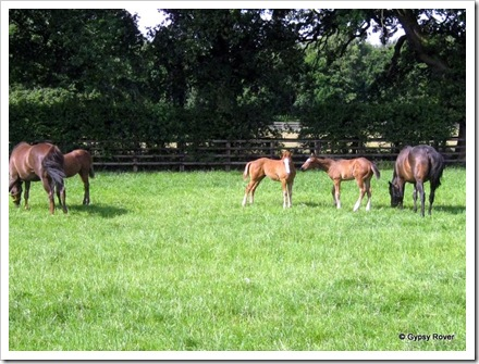 Mares and foals at Beechwood Grange.