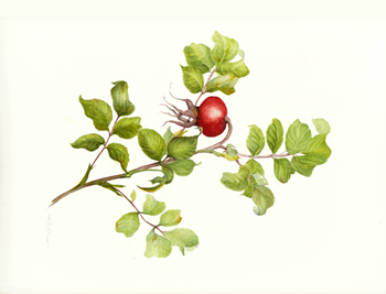 rosehip