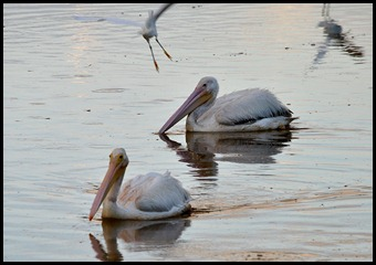 09c - Pair of White Pelicans