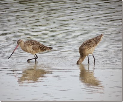fort_desoto2_marbled_godwit