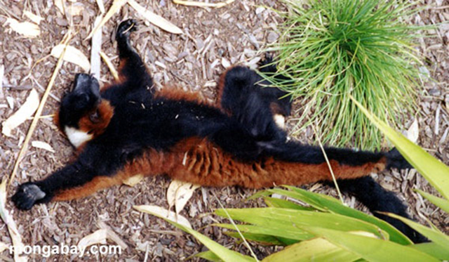 A poached red-ruffed lemur, a commonly hunted but critically endangered lemur species. Photo: Rhett A. Butler / mongabay.com