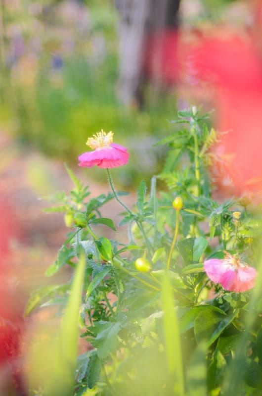 poppies-9667
