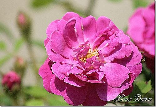 Adena_Rose2