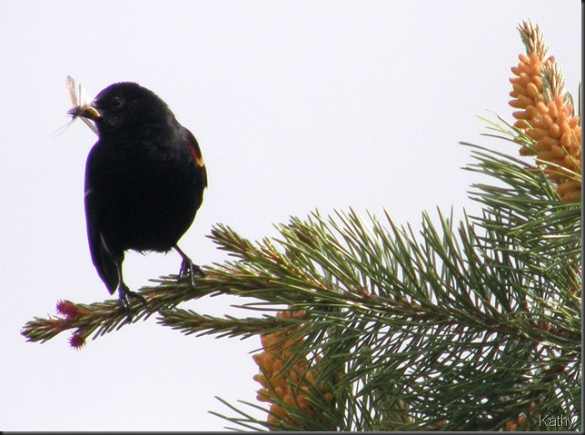 Male Red Wing Blackbird with a bug