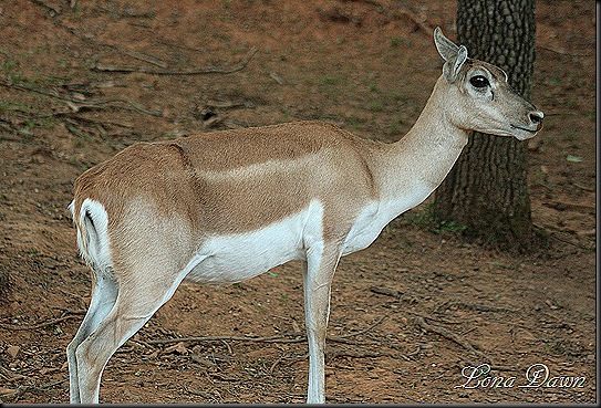 Safari_Blackbuck