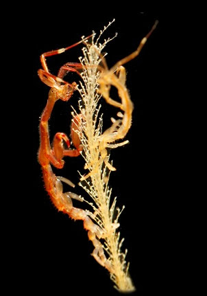 Amazing Pictures of Animals, Photo, Nature, Incredibel, Funny, Zoo, Caprella mutica, Japanese skeleton shrimp, Alex (1)