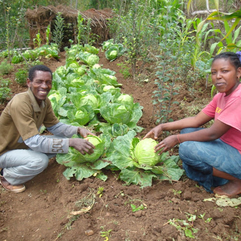 Some crops are similar to those grown in the UK, like these cabbages and sweetcorn