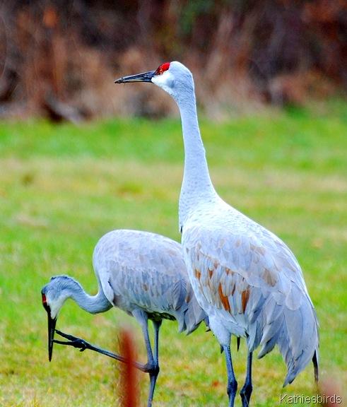 7. sandhill cranes in rowley-kab