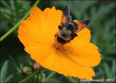 bee on coreopsis0821 (2)