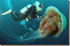 jellyfish-images-aurelia (9)
