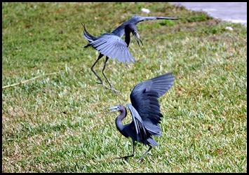 04d - Little Blue Herons