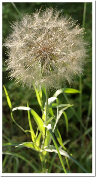 110708_Tragopogon-dubius_02