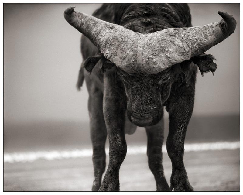 Buffalo With Lowered Head L
