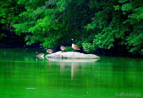 DSC_0194 geese-kab