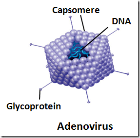 Non enveloped viruses - Adeno virus