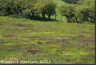 18-meadow