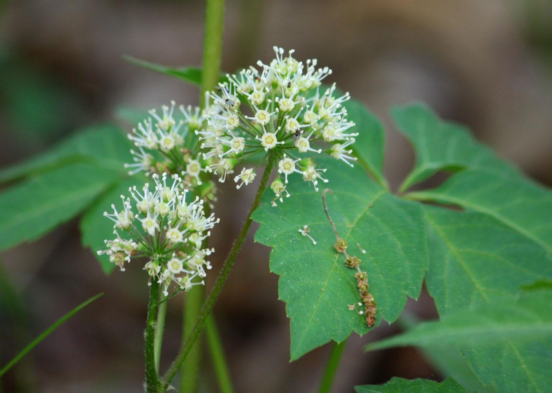 Poison Ivy Flower