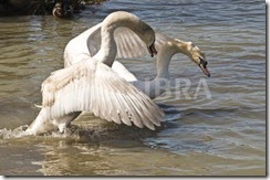 660946-mute-swan-attacking-another-swan