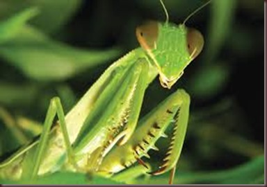 Amazing Pictures of Animals photo Nature exotic funny incredibel Zoo Mantis Arthropodo Insect. Alex (3)