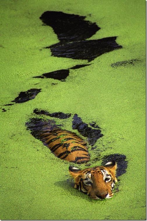 Tigerswimming_thumb1