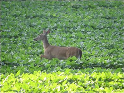 deer in soybean